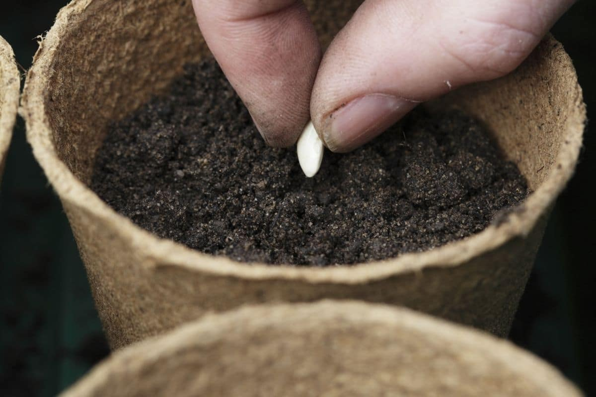 planting lemon seed in a biodegradable pot