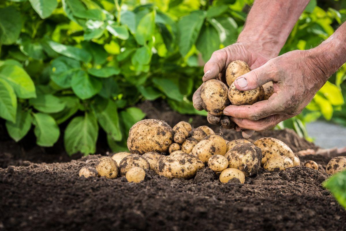 freshly harvested potatoes in the garden