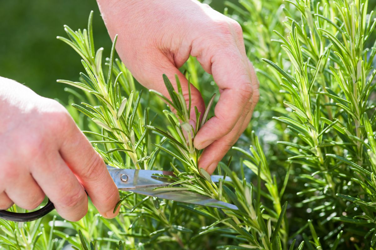cutting fresh rosemary herbs from the garden