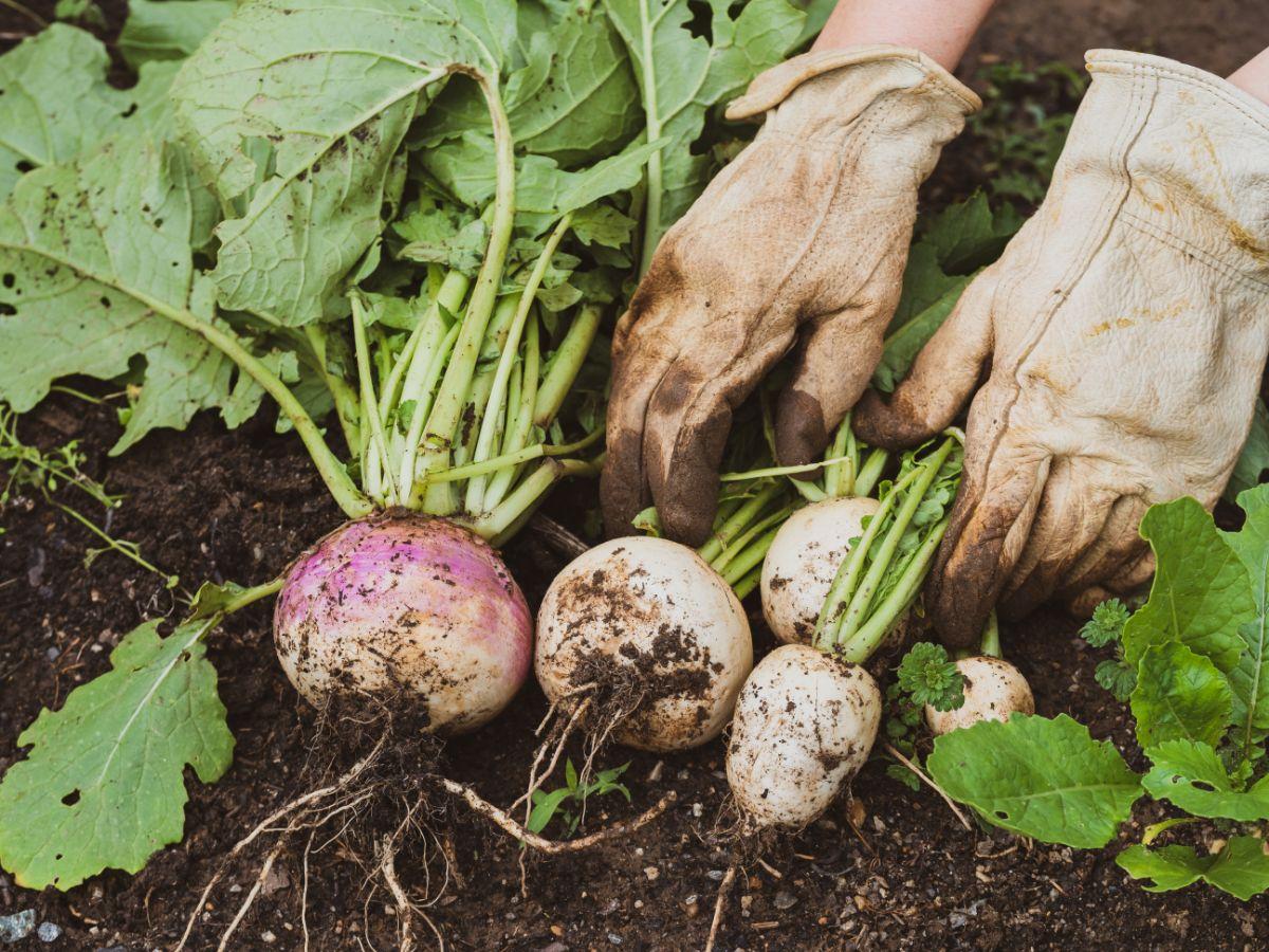 Harvesting Turnips from the vegetable garden