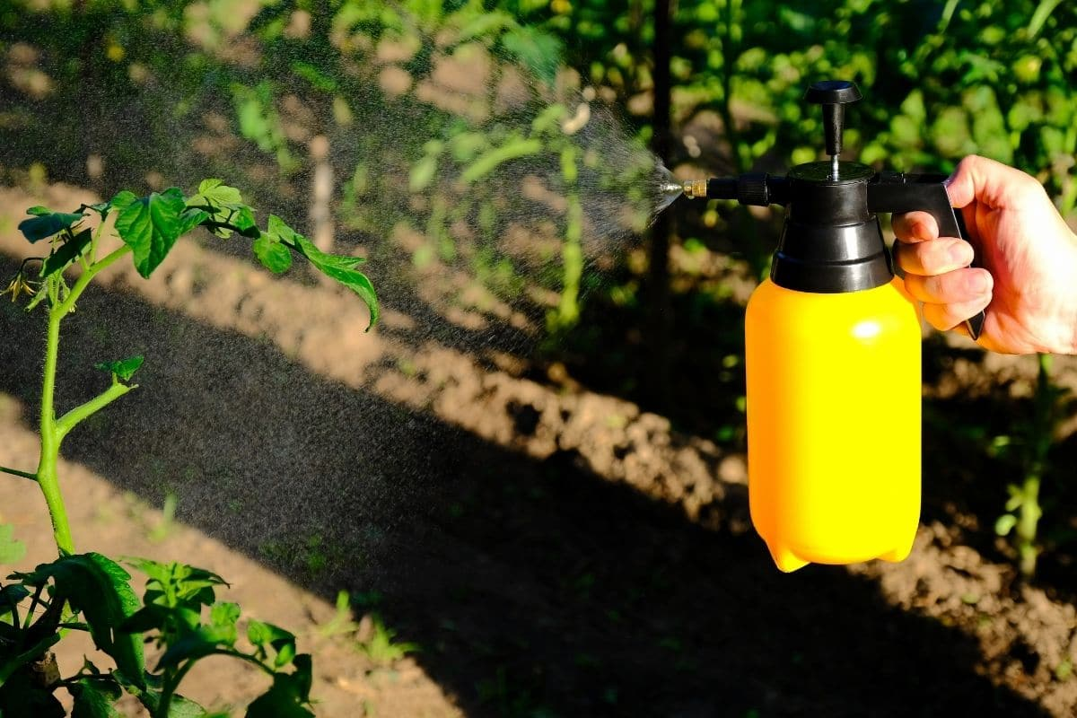 spraying fungicide to diseased tomato plant