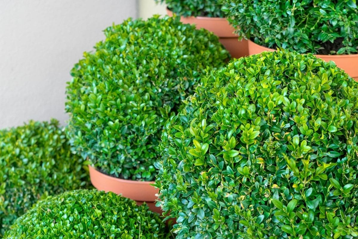 circle formed boxwood plant in a pot