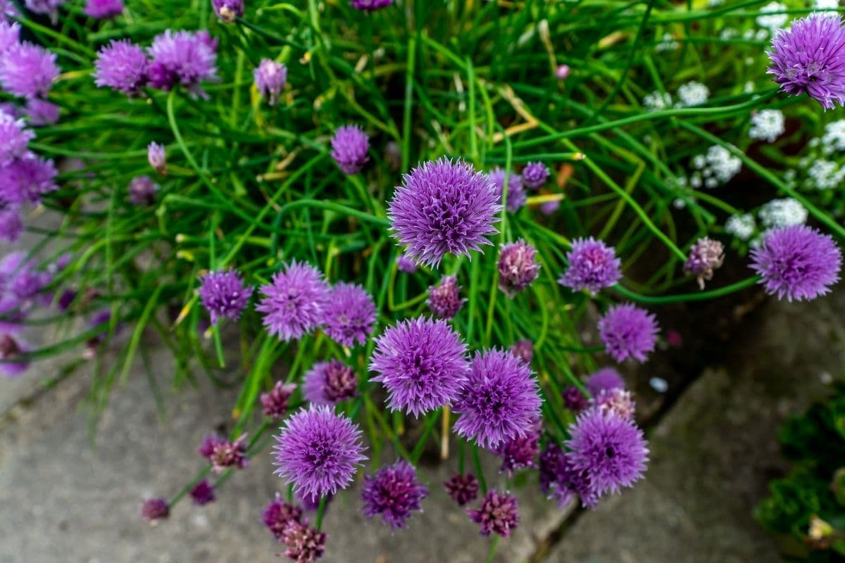 flowering chives herb in the garden