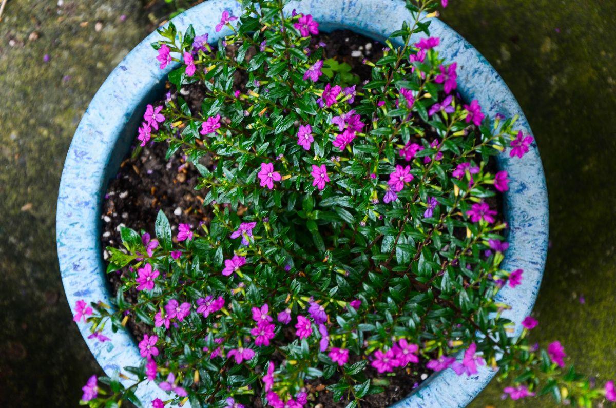cuphea flower in a pot