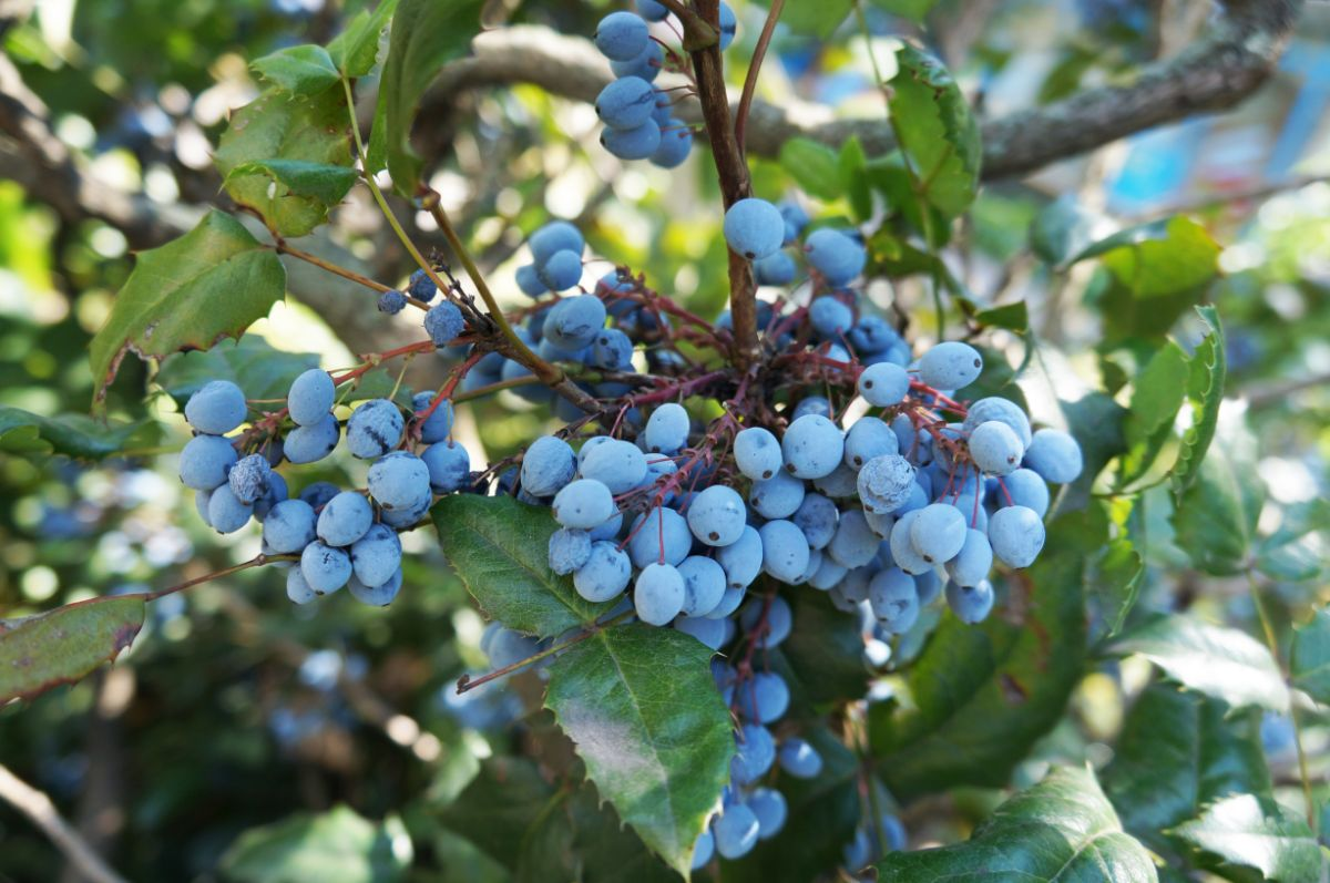 oregon grape holly with blue berries on a branch