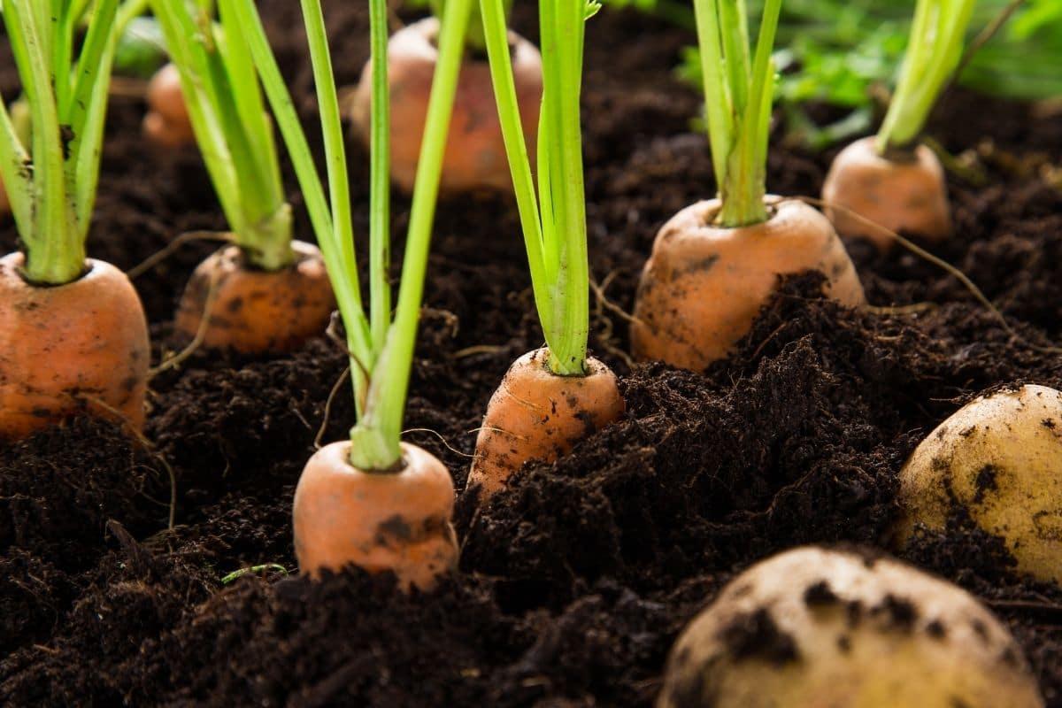 growing carrot in the vegetable garden
