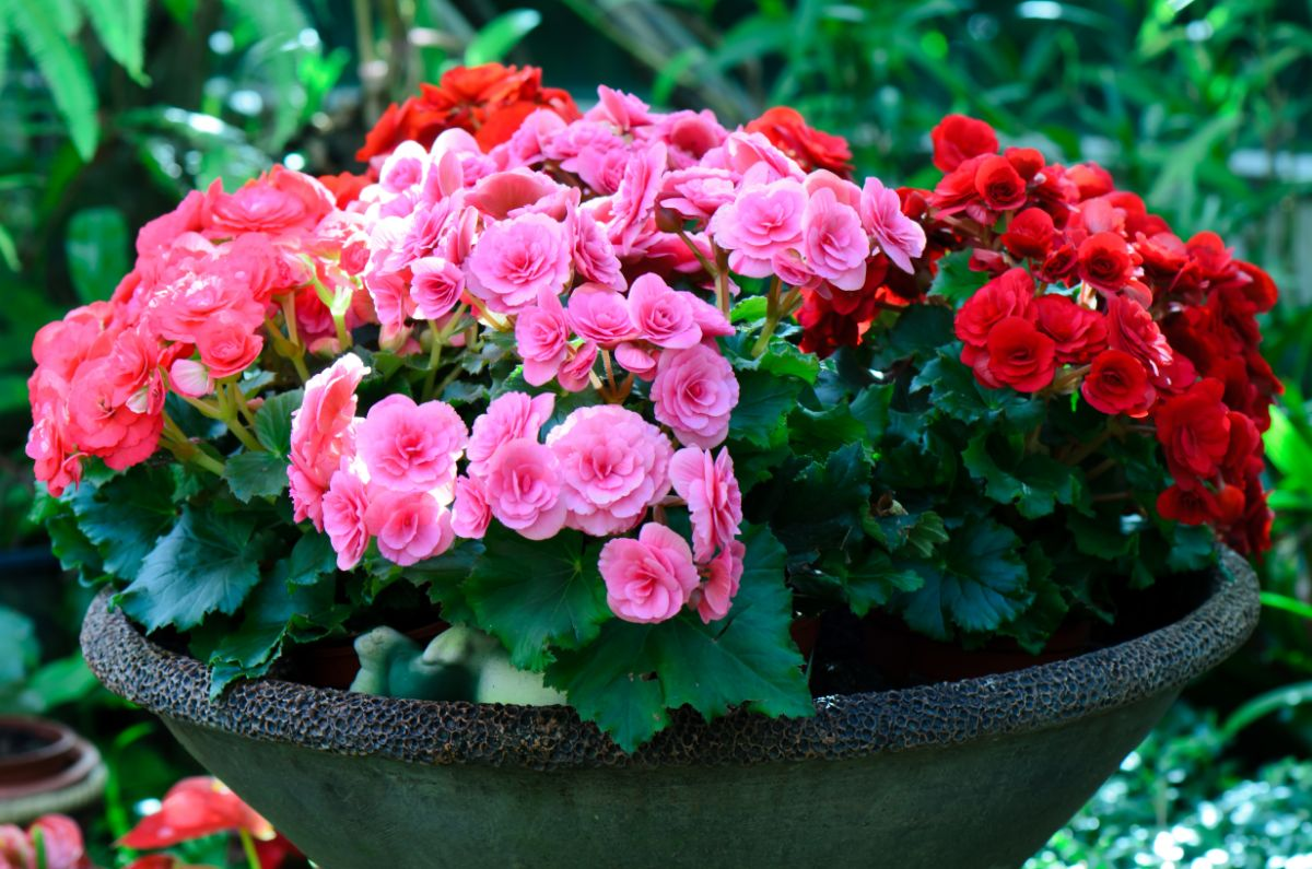 pink and red begonias on a pot