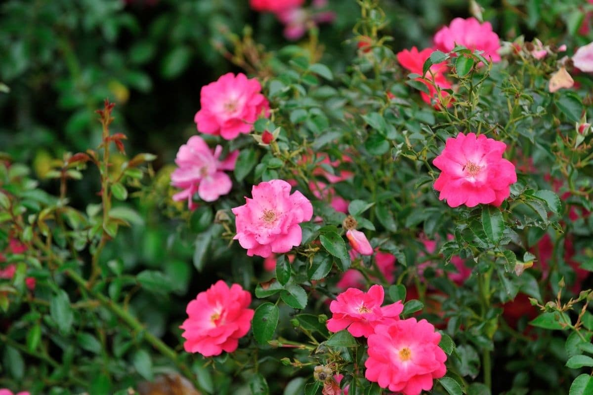 shrub of pink roses in the garden