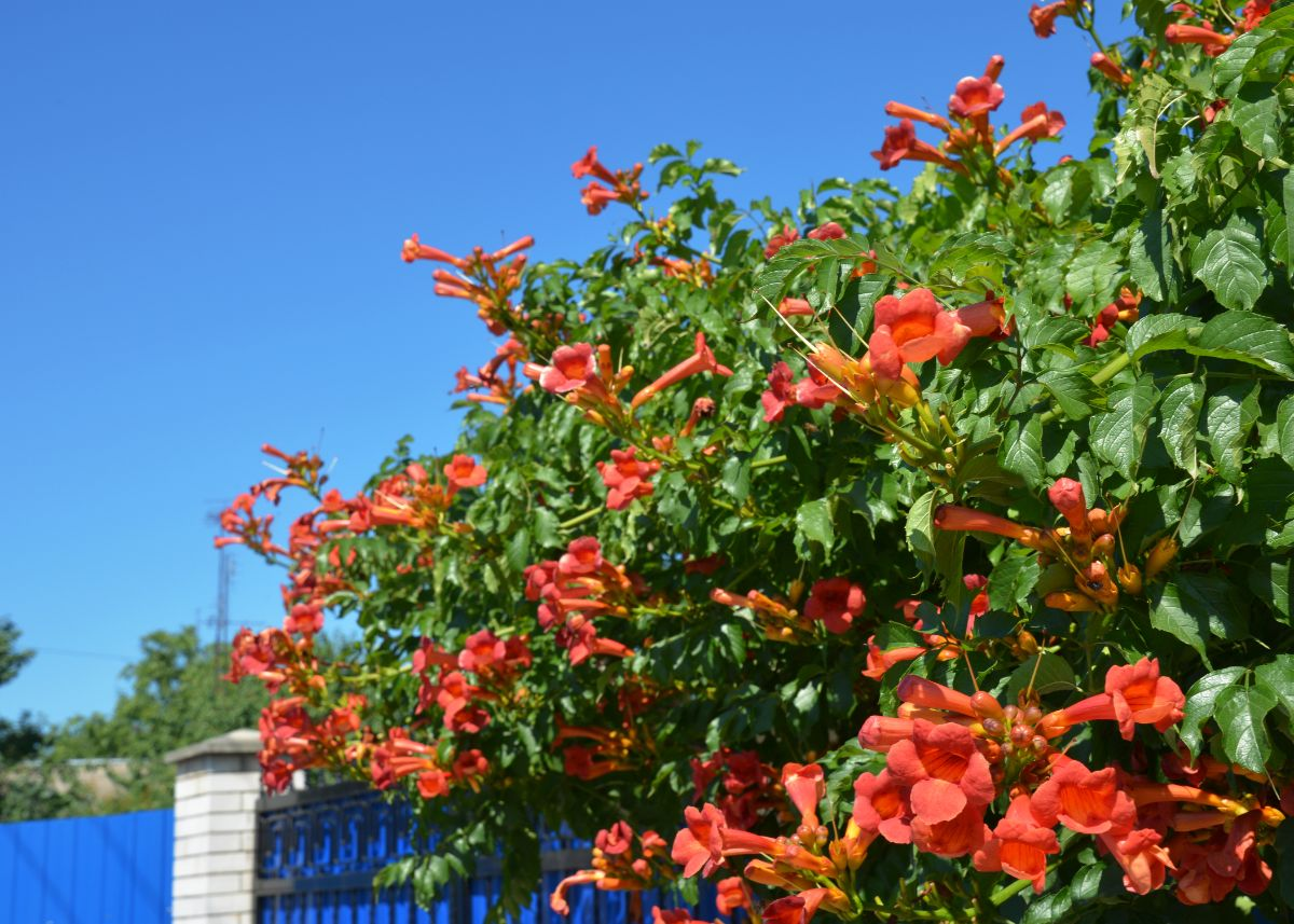 beautiful orange trumpet fine in a house fence