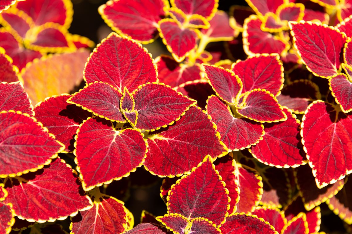 bright coleus plants under the sun