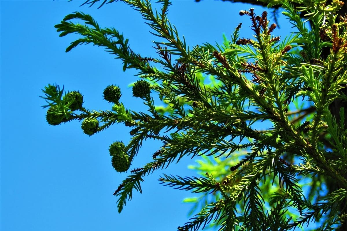 branch of cryptomeria tree against the sky