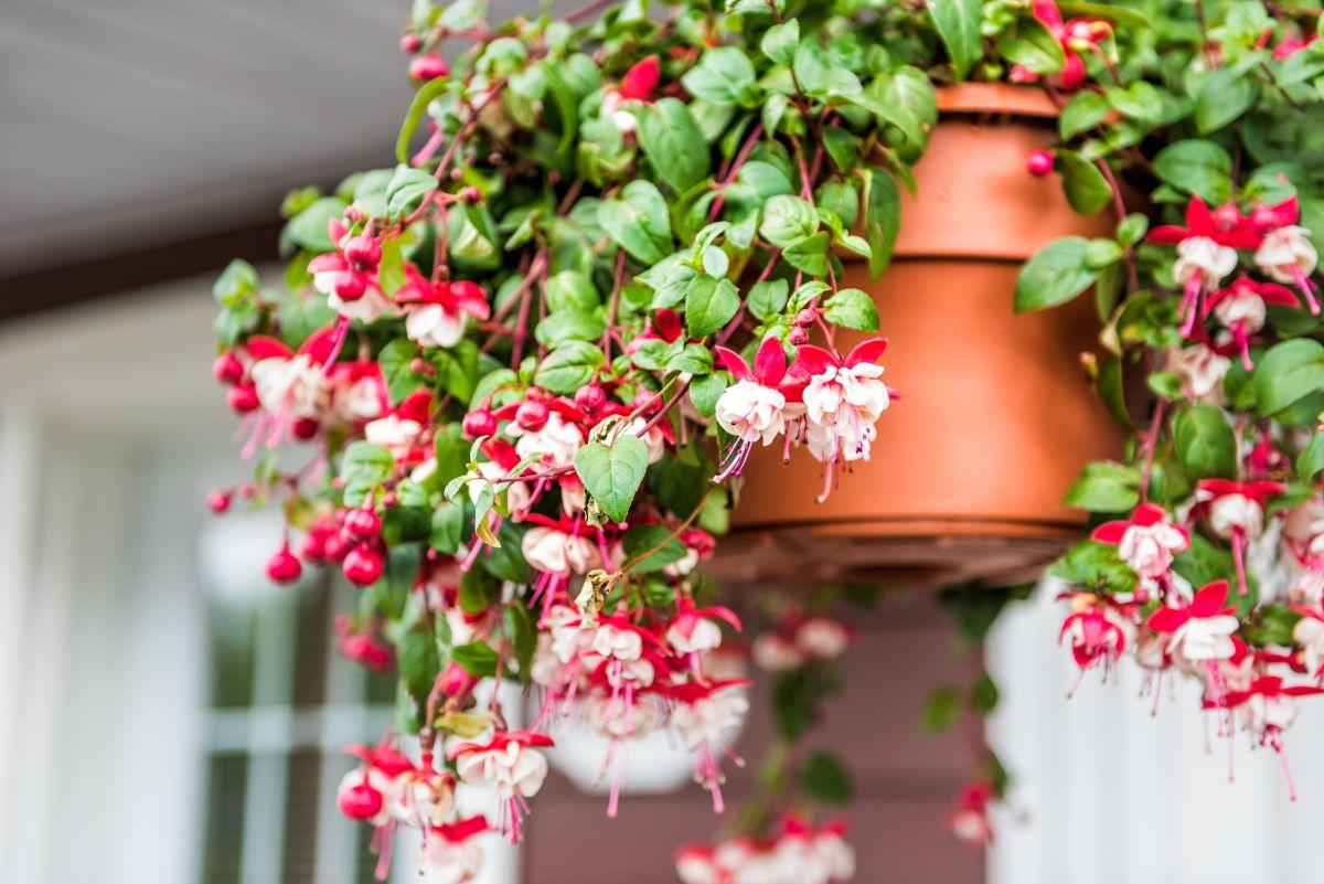 fuschia flower in a hanging pot