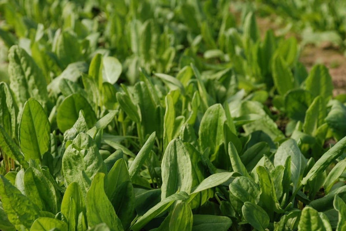 common sorrel growing in a vegetable farm