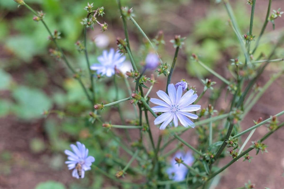 chicory plant with flowers in the garden