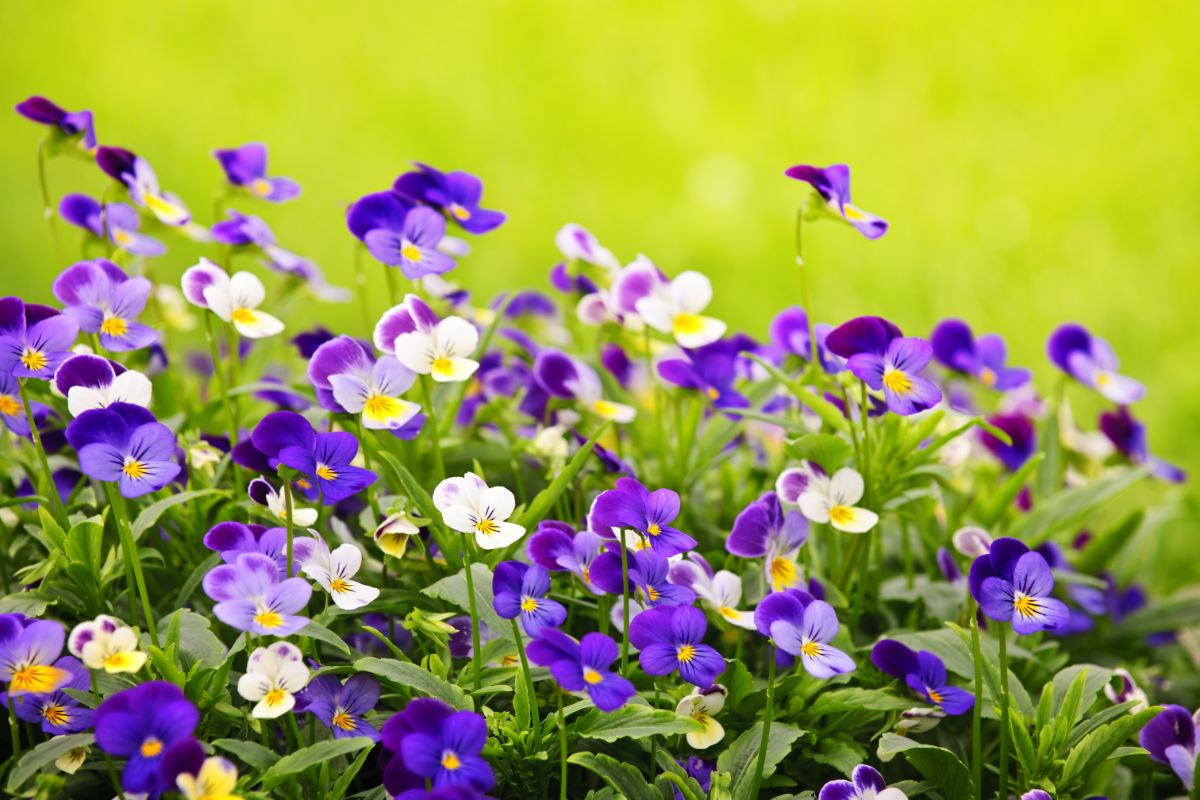purple pansies during summer in a garden