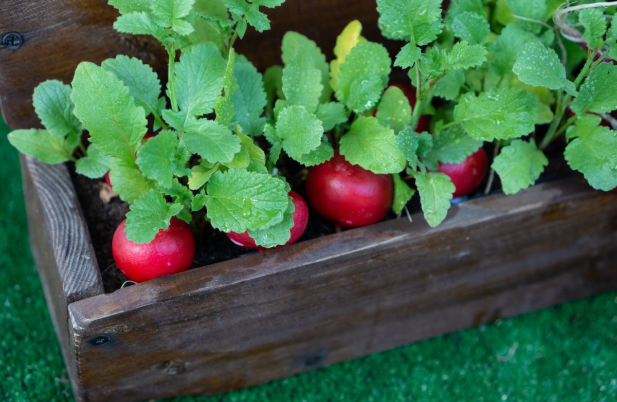 growing radishes in a wooden pot