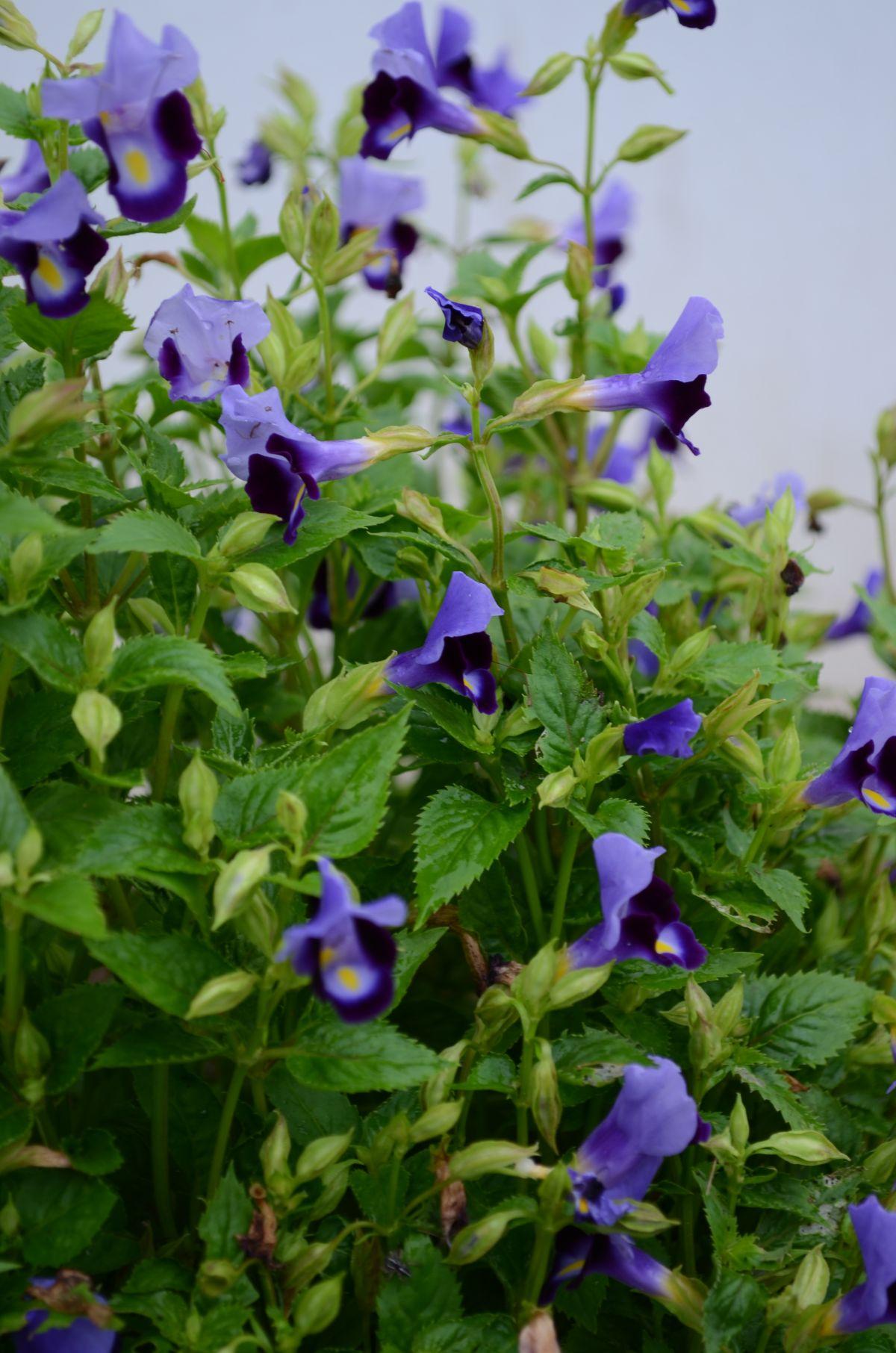 violet torenia flowers