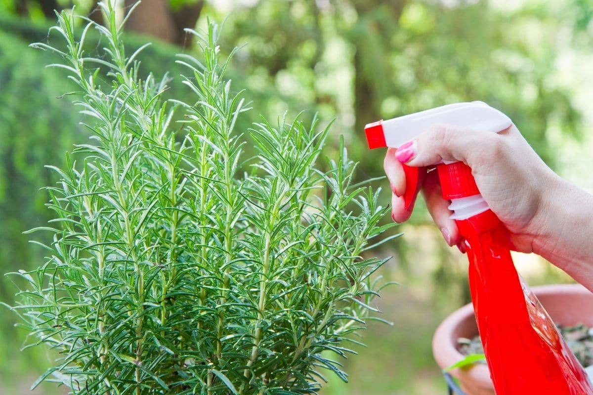 spraying rosemary herb with water
