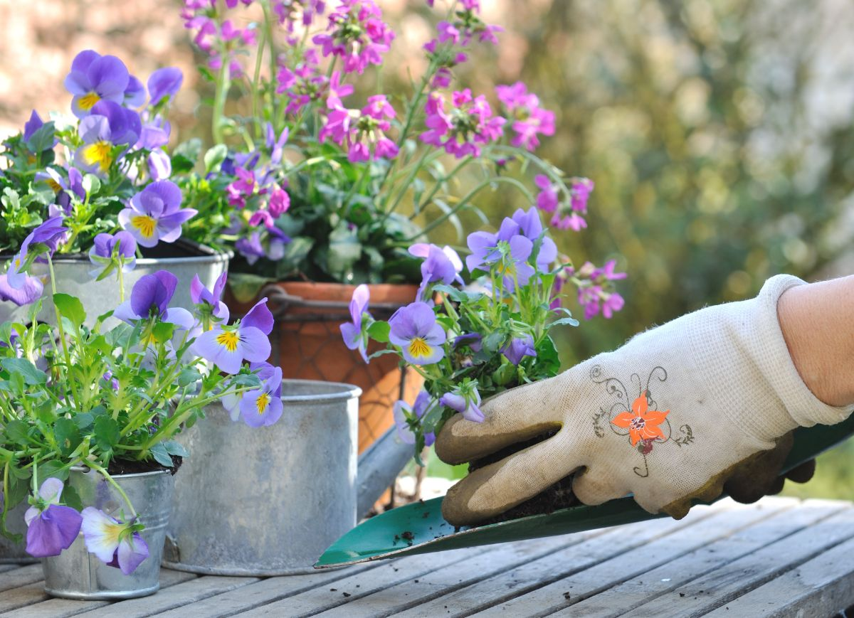 planting violets or viola flower in a pot