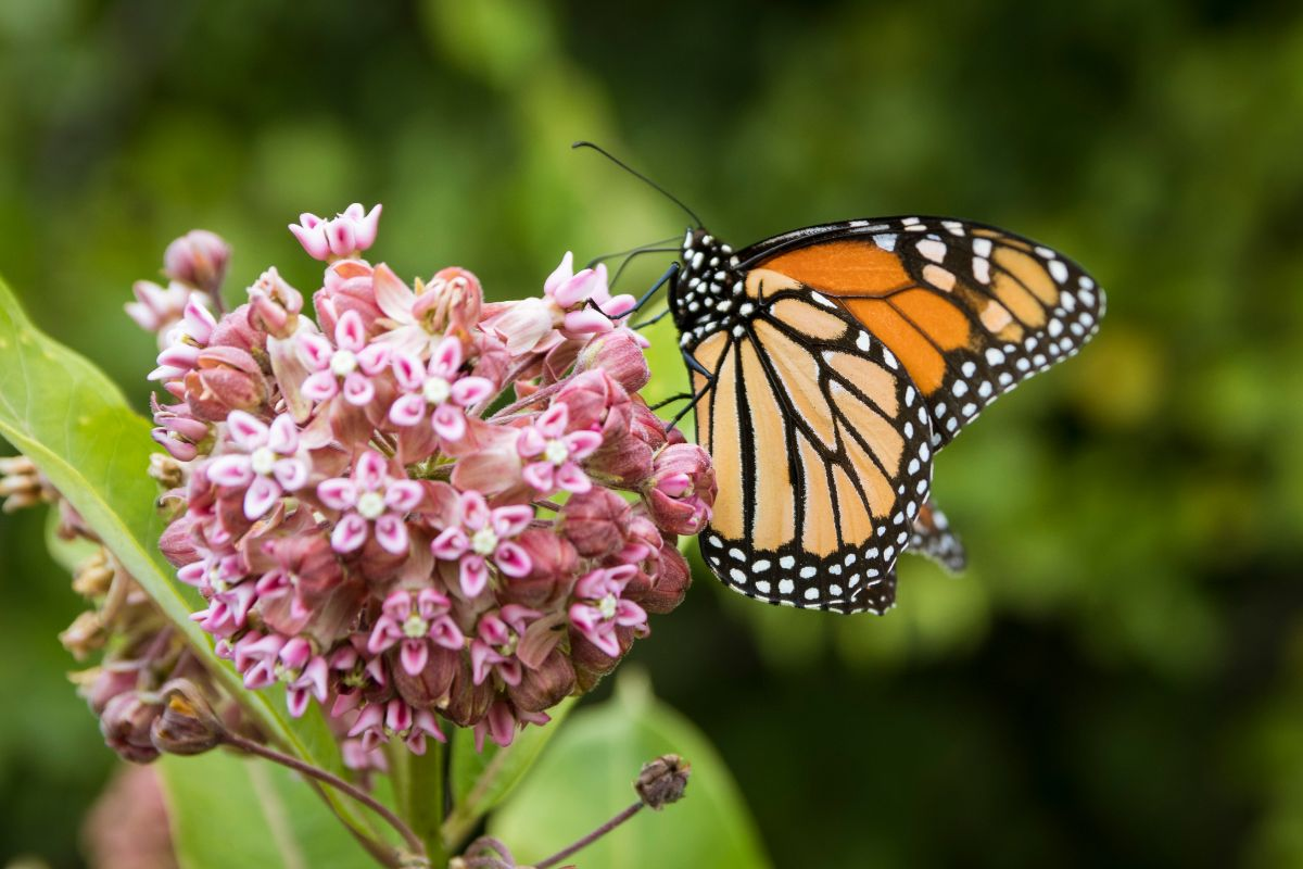 milkweed flower with butterfly