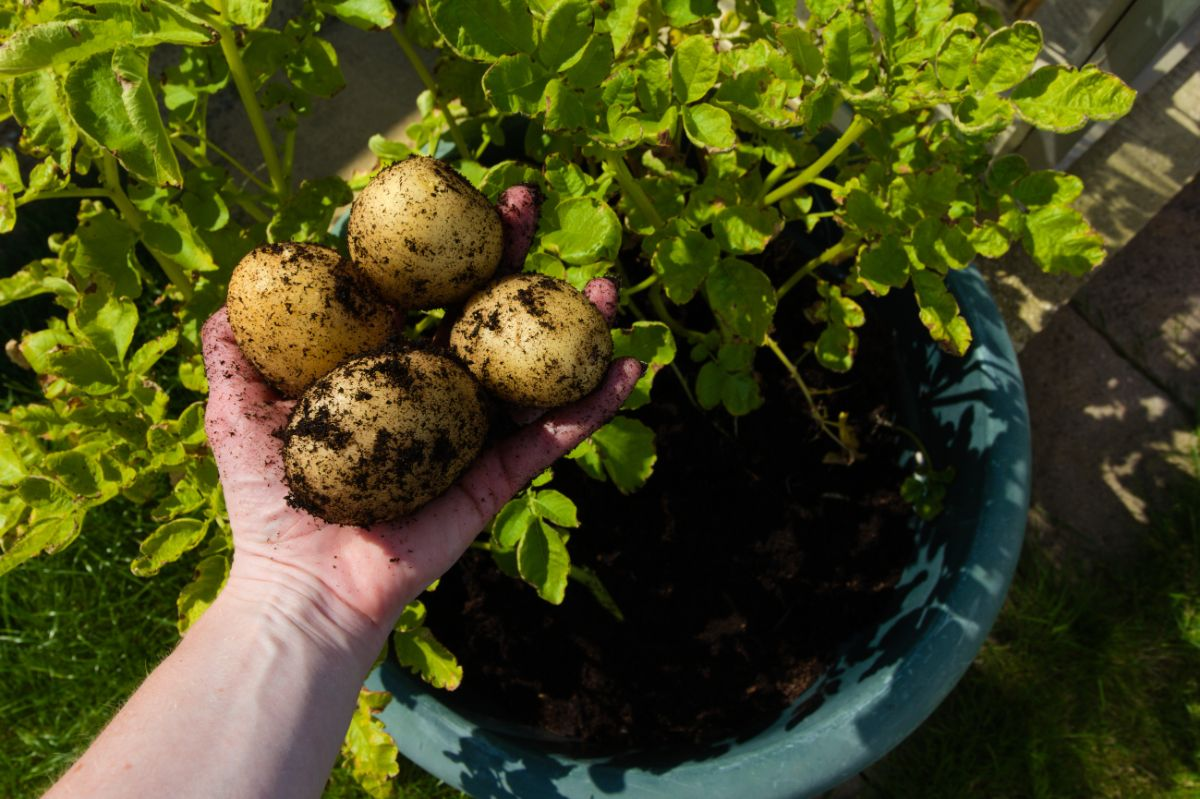 harvesting potatoes from a pot