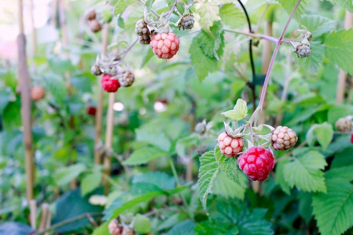 raspberry plant with small young berries
