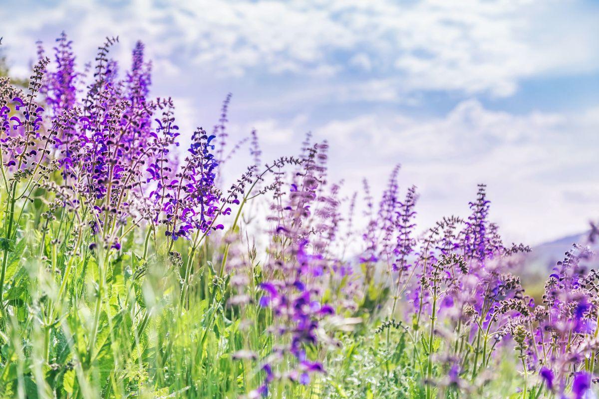 filed of purple sage flowers in a field