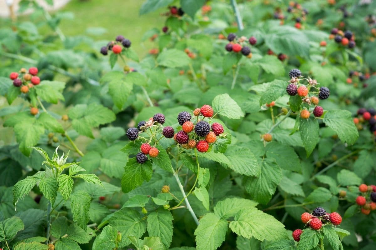 blackberry plant with young berries