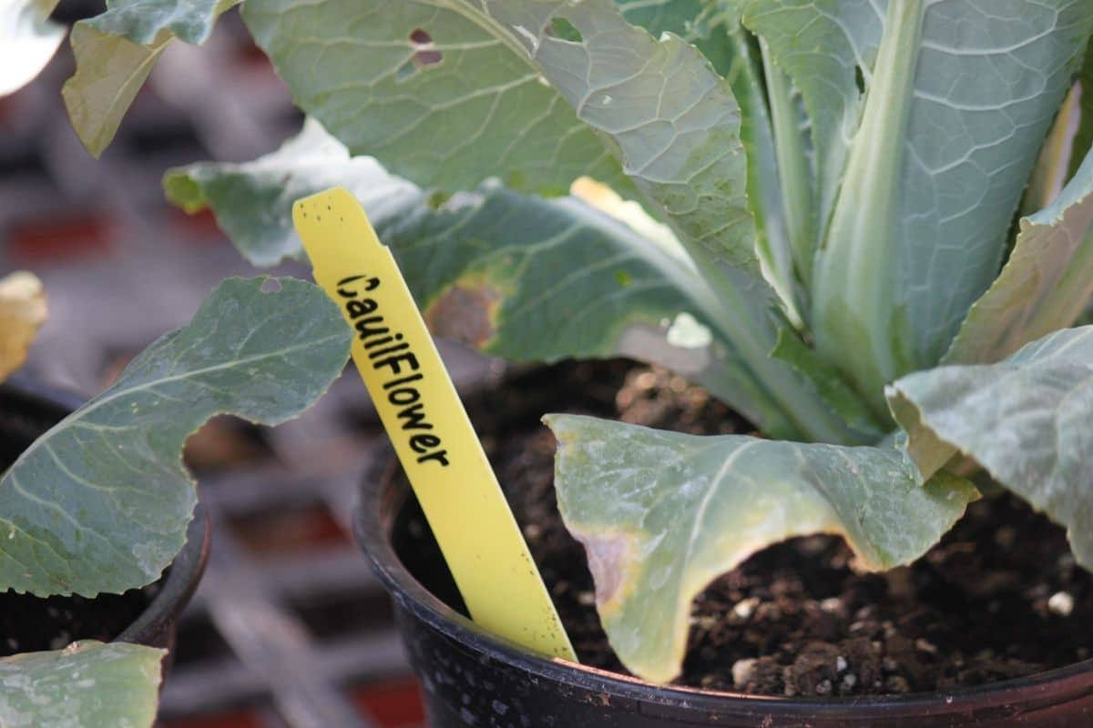 young cauliflower in a pot with popsicle stick mark