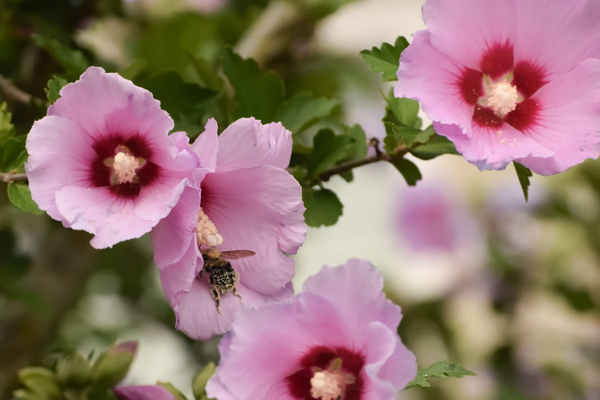 pink rose of sharon flower with a bee