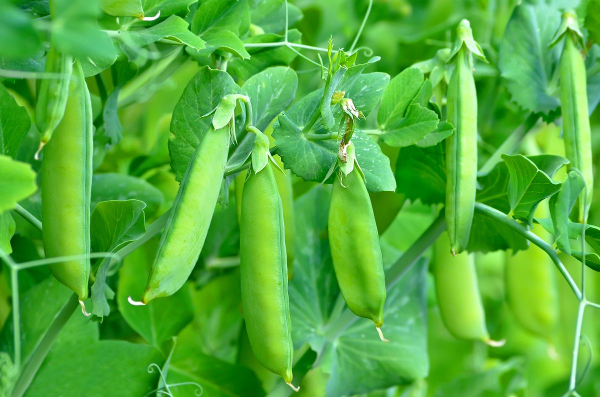 green peas hanging in a tree