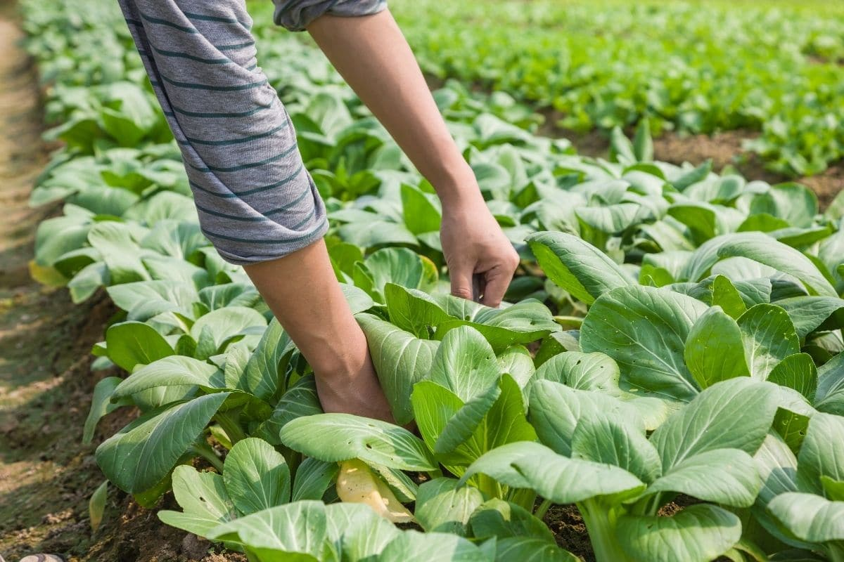 harvesting bok choy vegetable in the farm