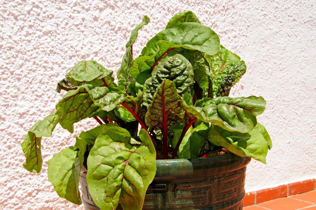 swish chard plant in a pot
