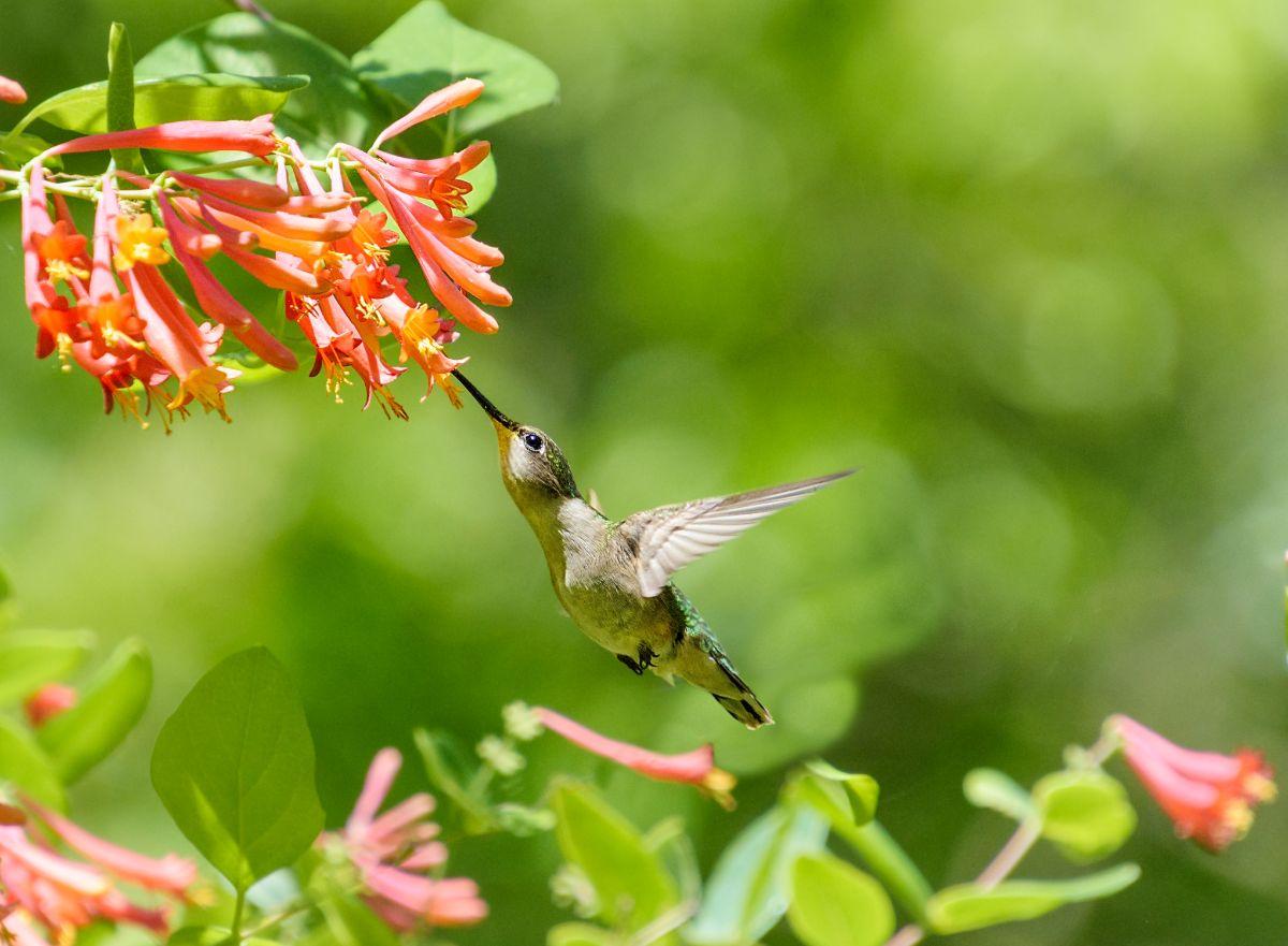 trumpet honeysuckle with hummingbird