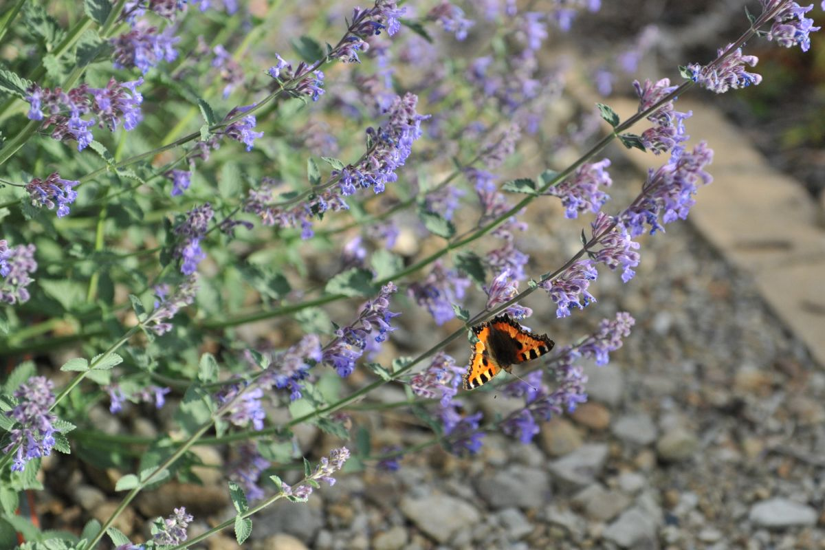 purple catmint flowers with butterfly