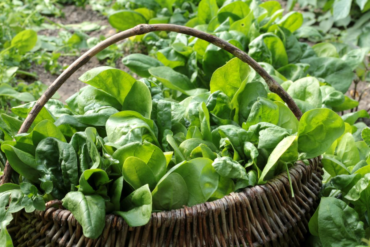 harvested fresh spinach in a basket