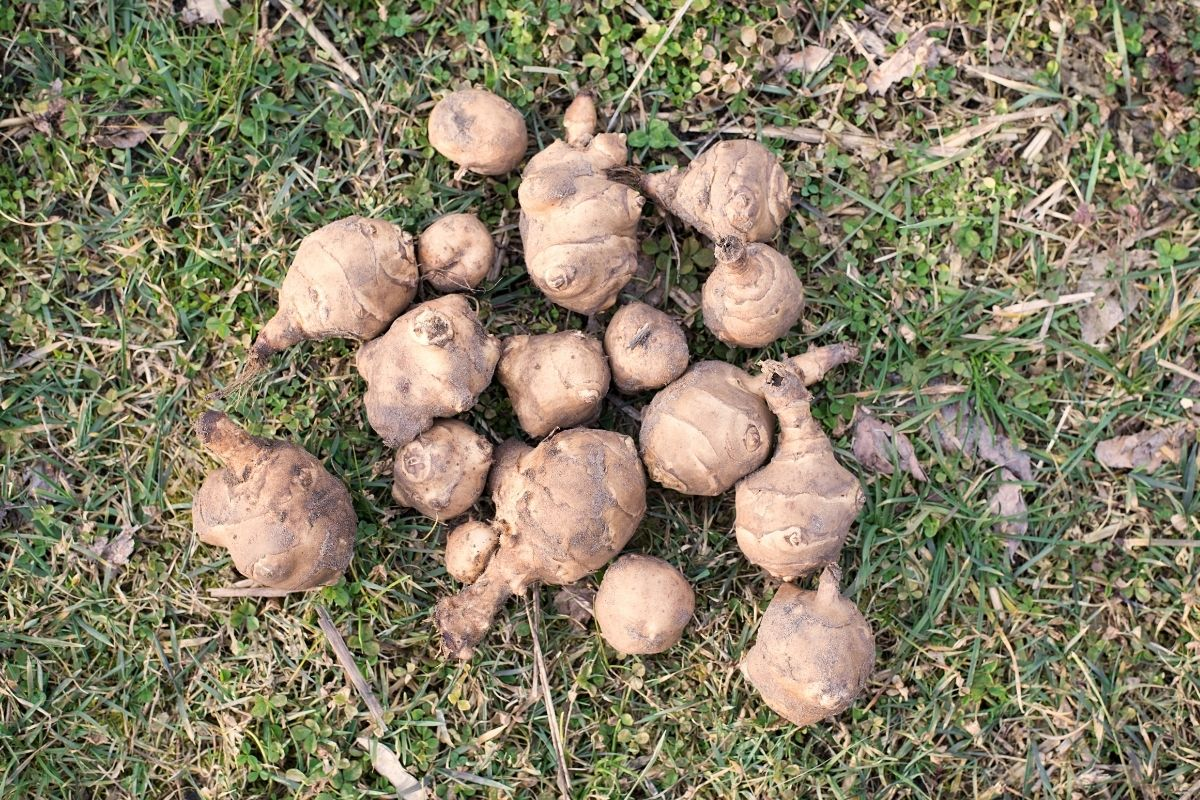 harvested sunchokes in the ground