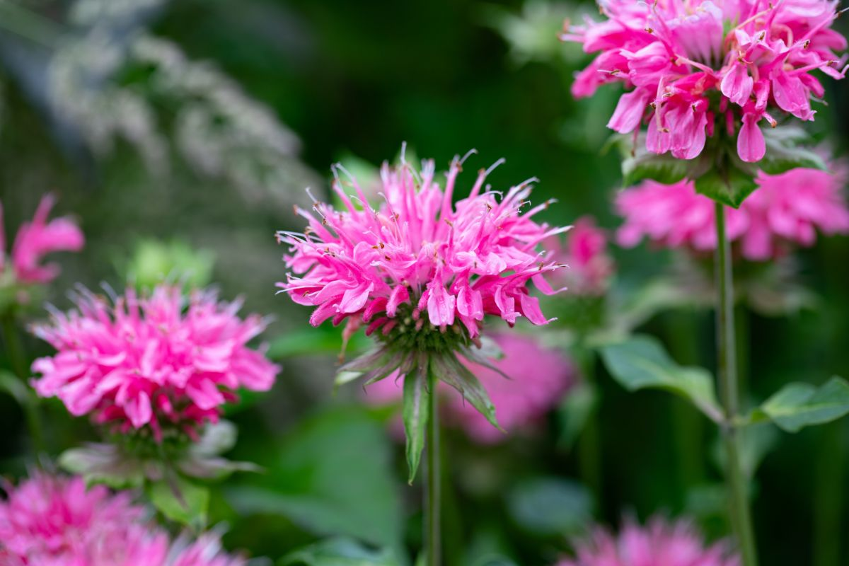 pink bee balm flower in a garden