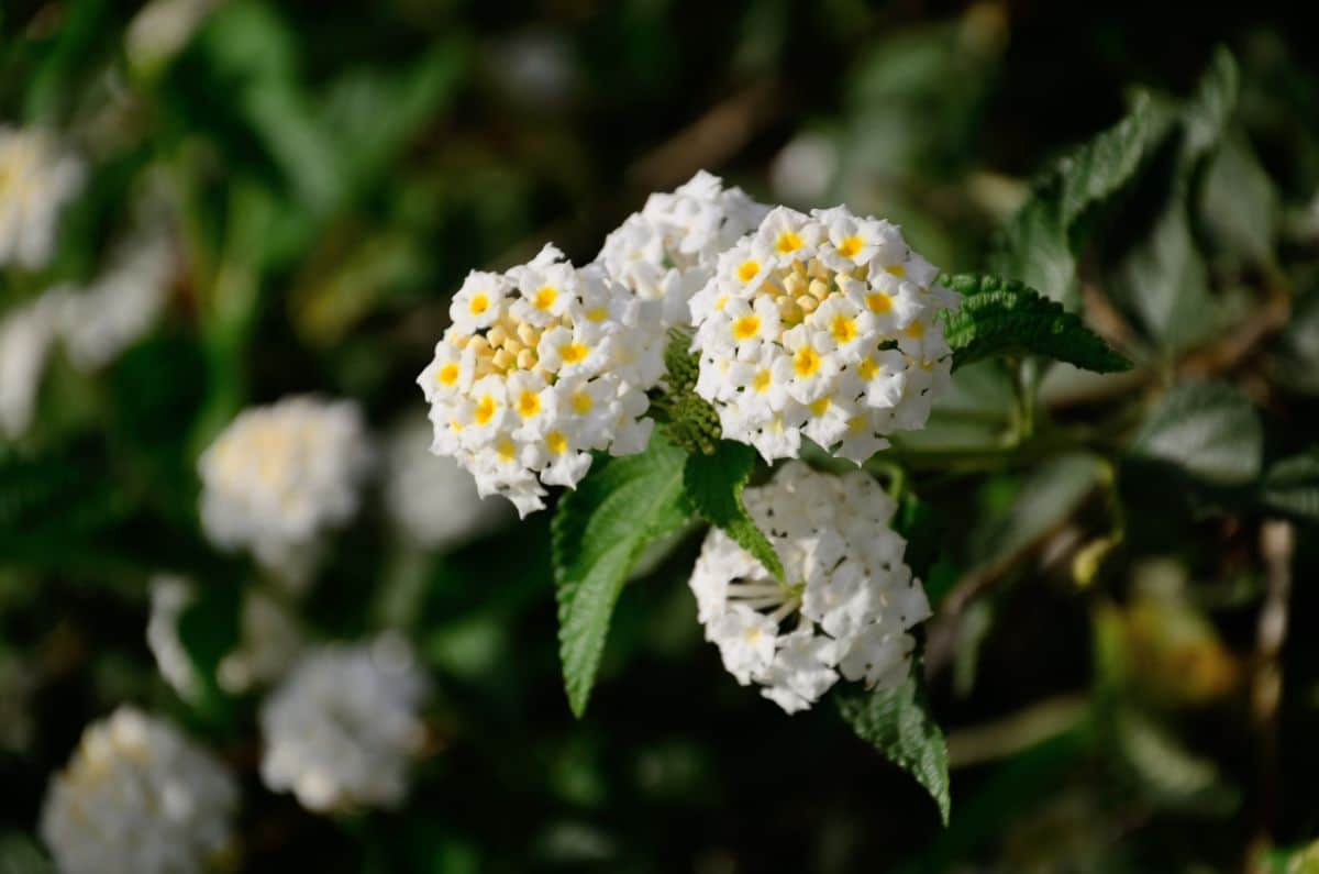 white lantana flowers
