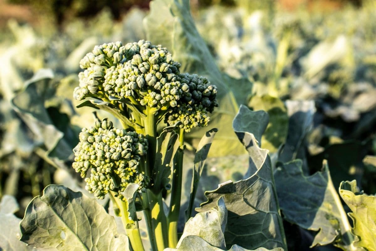 growing broccoli in the vegetable farm