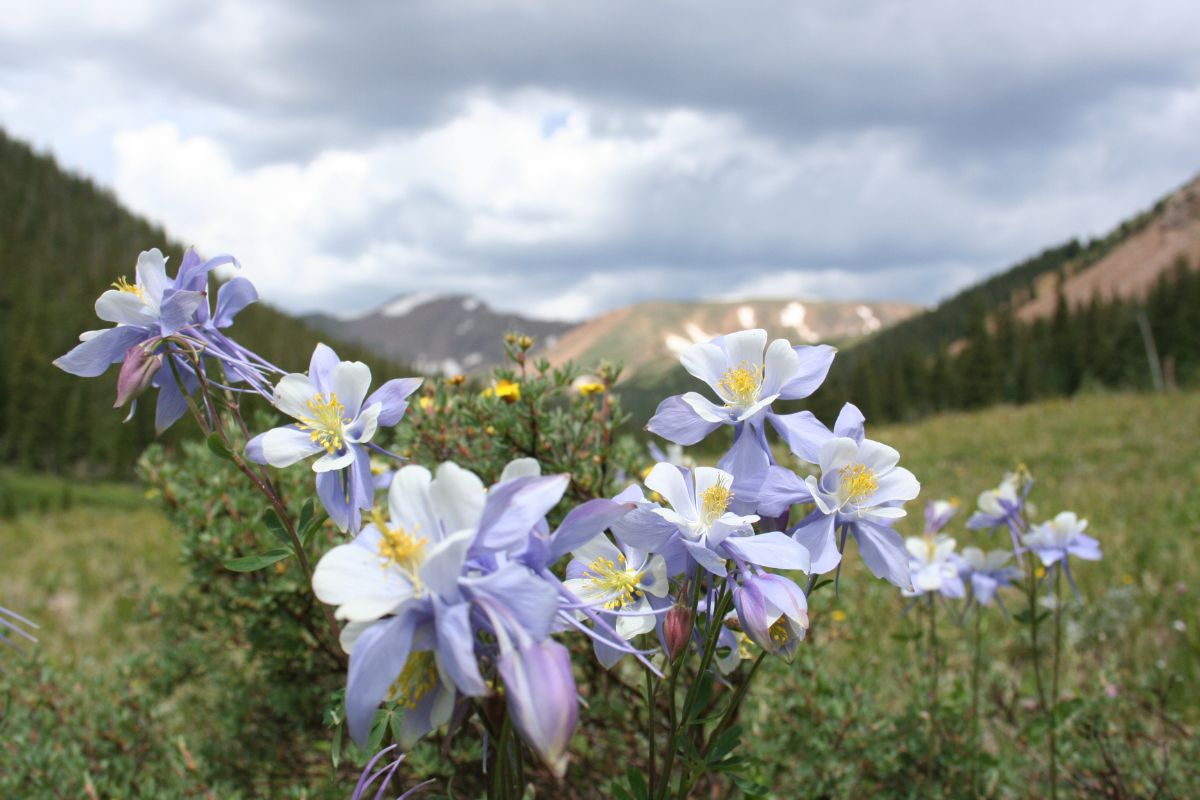 white columbine blooming in a mountain valley landscape