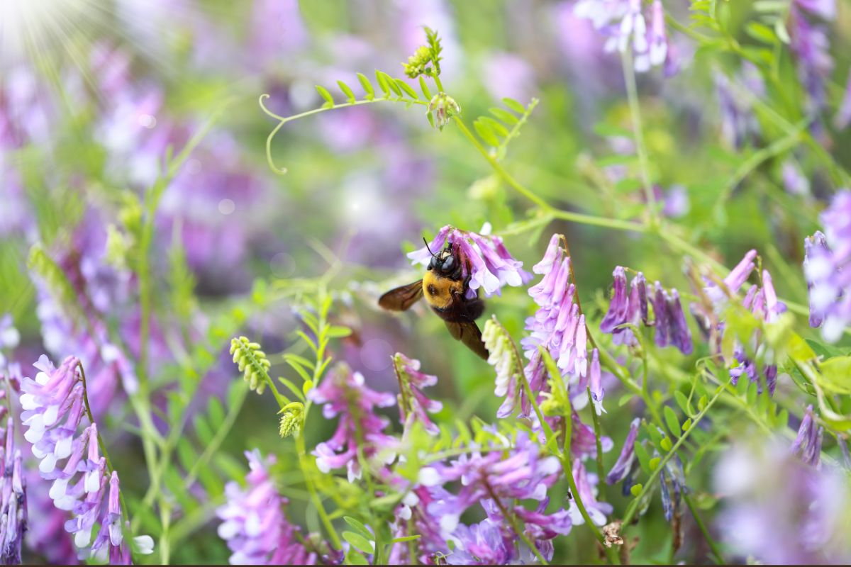 purple hairy vetch with a bee