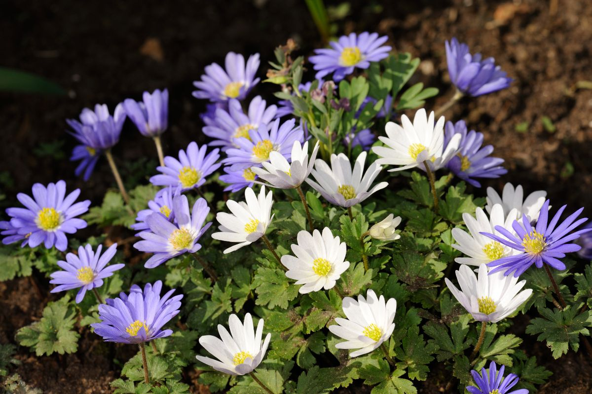 anemone or grecian windflower blooming in the garden