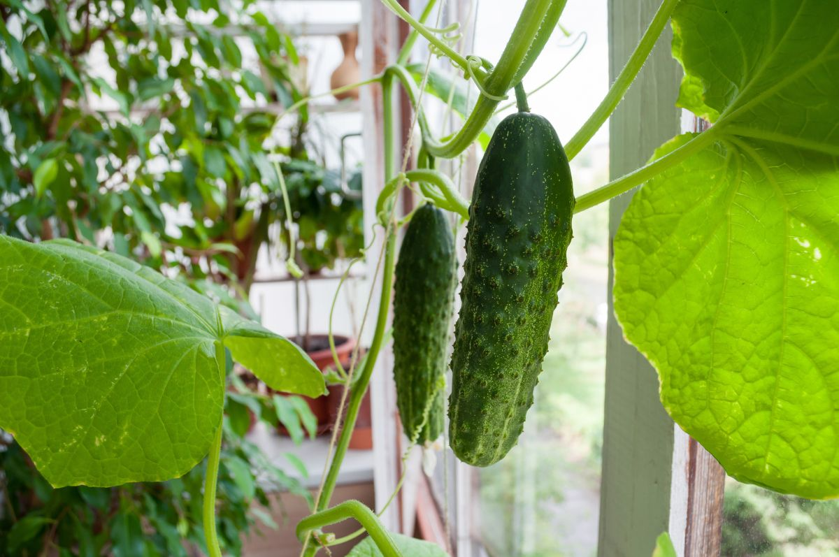 cucumber growing indoors by the window