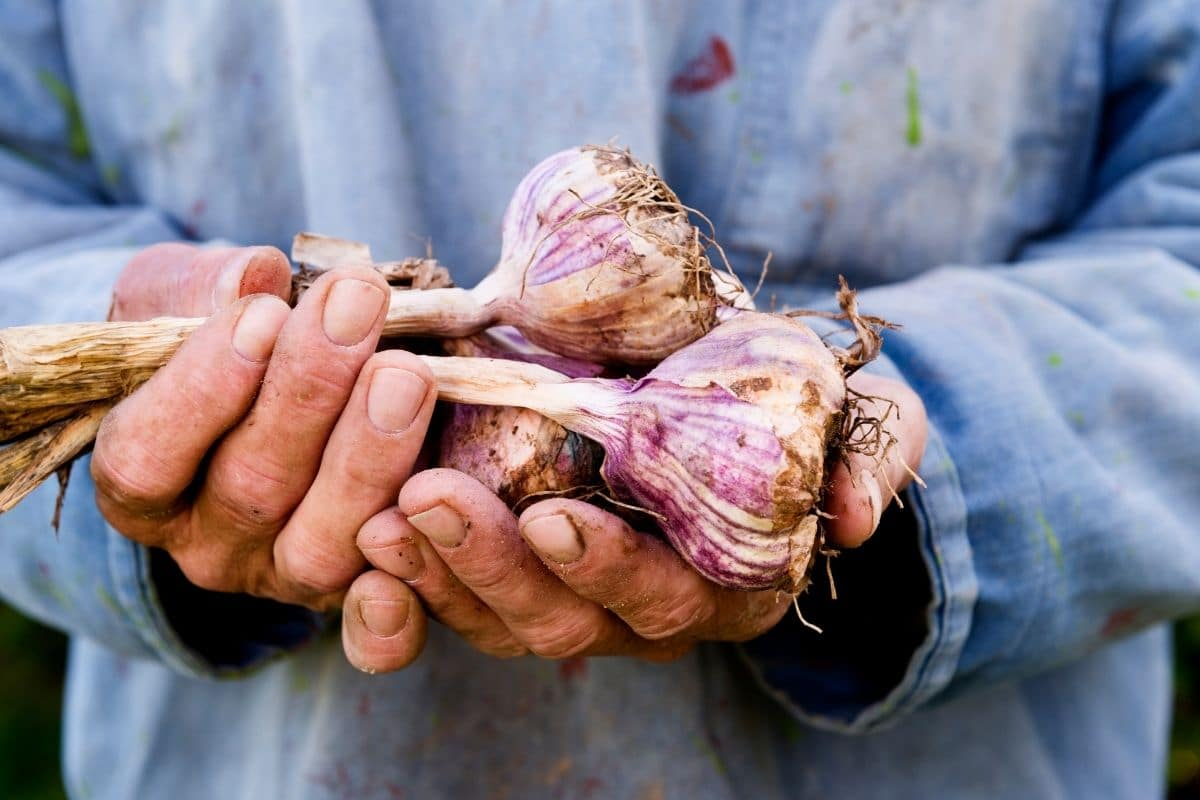 holding a freshly harvested garlic from the garden