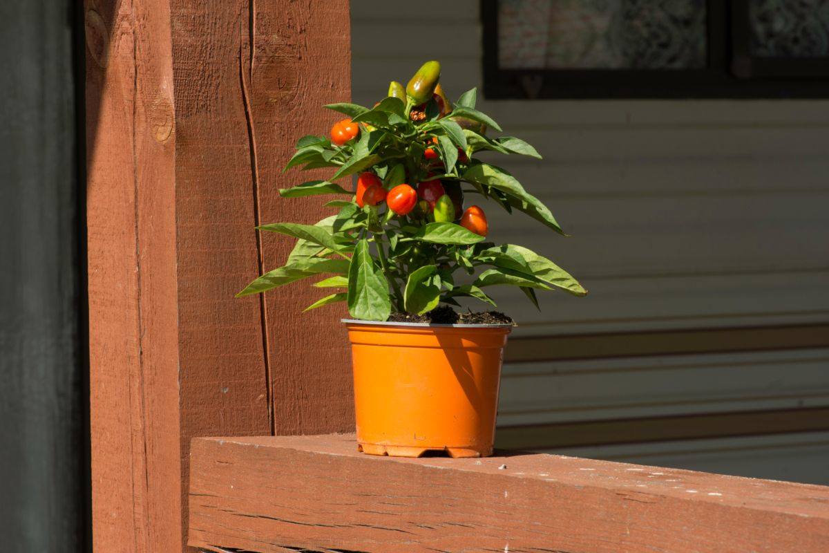 pepper plant on a bright and sunny day