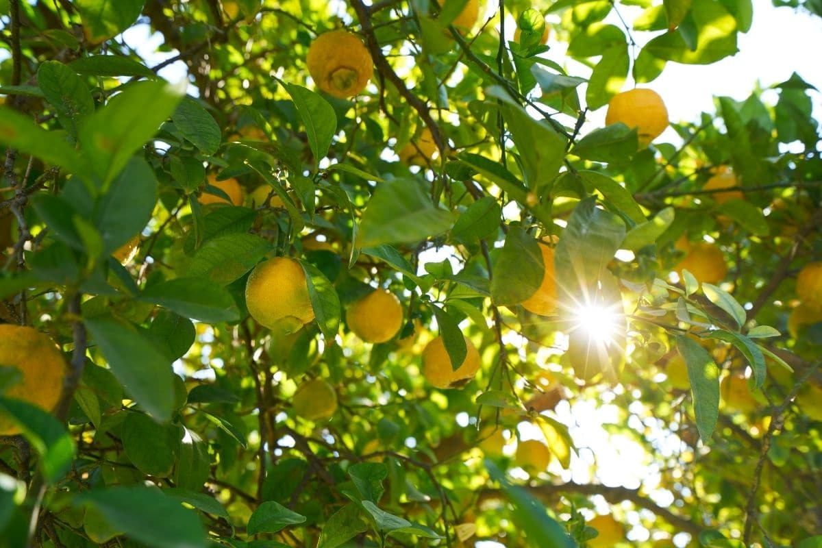 lemon tree with ripe lemon fruits in a sunlight