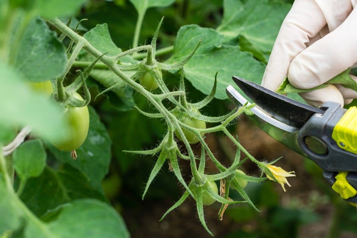 cutting or pruning of tomato leaves