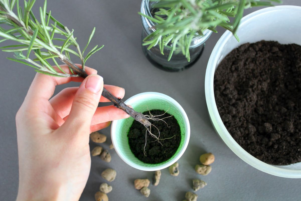 potting the rosemary plant