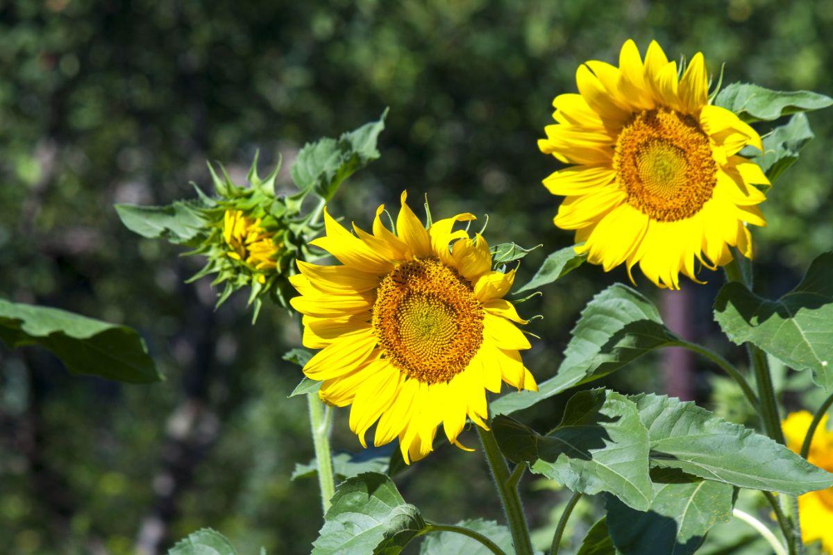 blooming sunflower in the garden